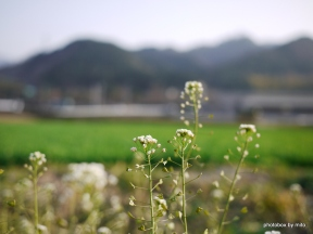 ぺんぺん草~カメラ散歩