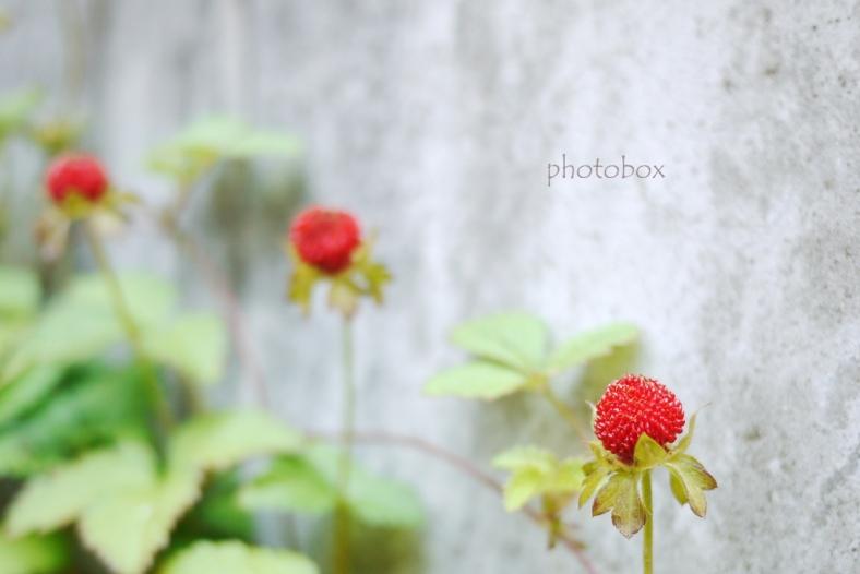 False strawberry