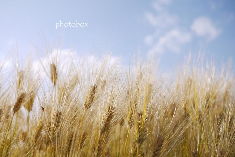 Naked barley(裸麦)