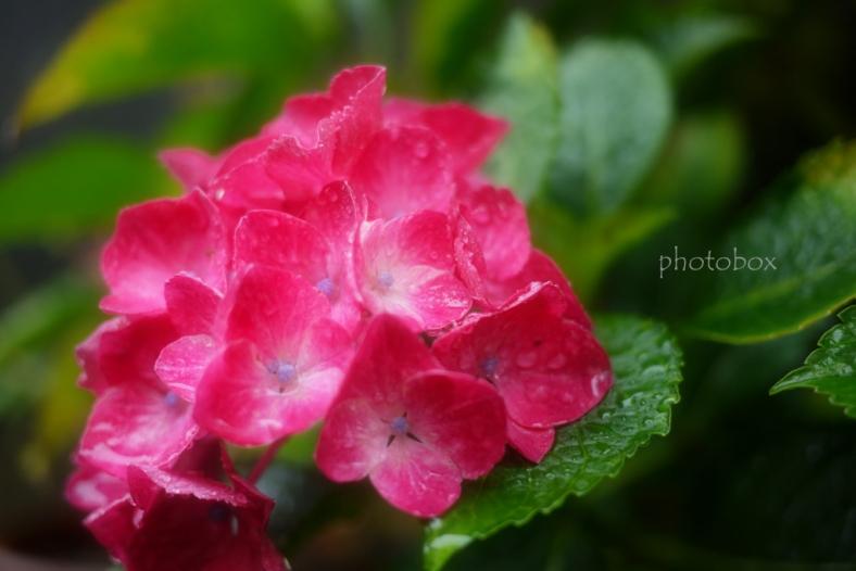 Hydrangea~紫陽花