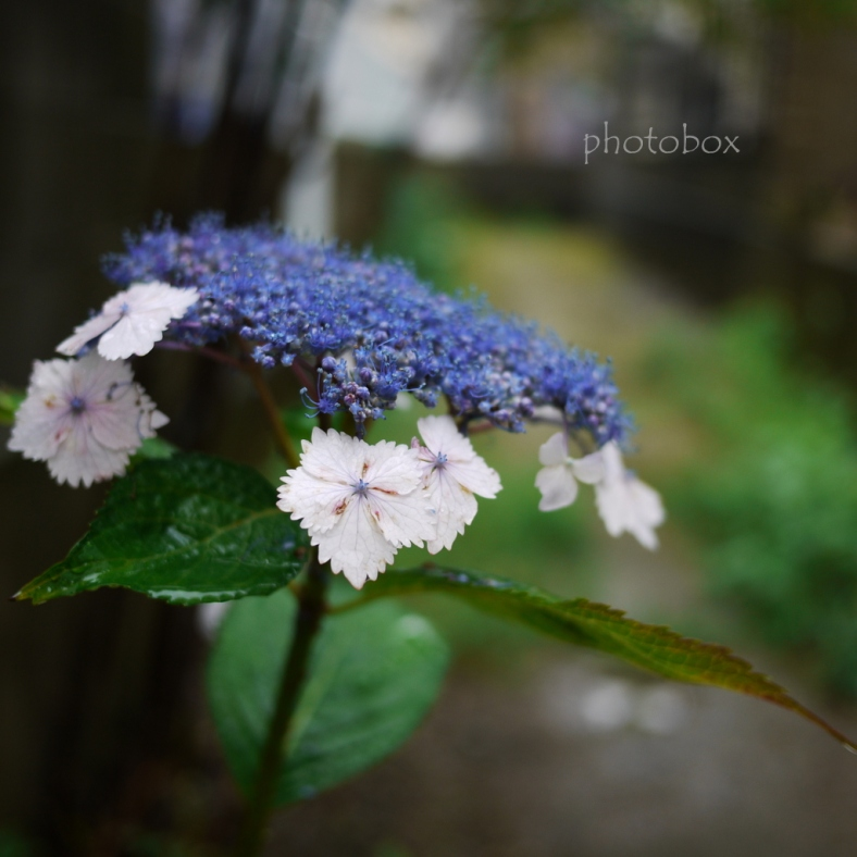 Hydrangea macrophylla~額紫陽花
