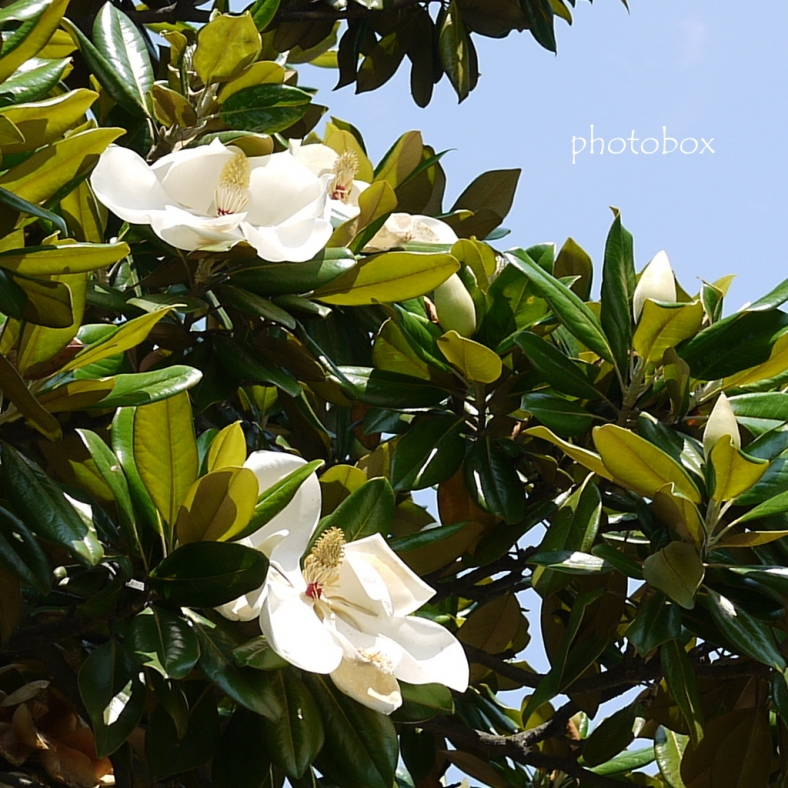 Evergreen Magnolia~泰山木