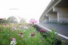 秋桜(6)