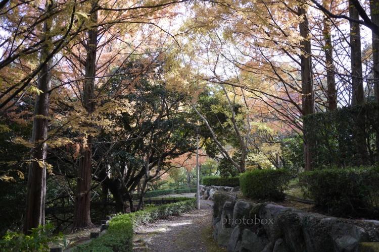 メタセコイヤ遊歩道