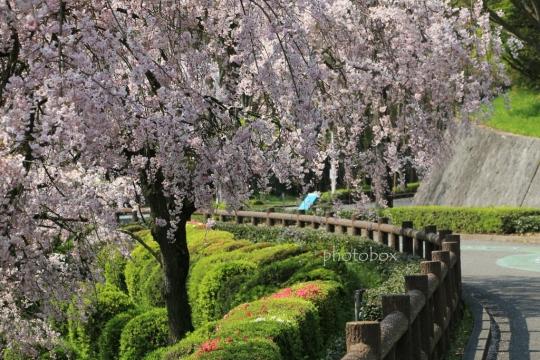 動物園入口の枝垂れ桜