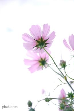 花びらを透かして撮りたかった